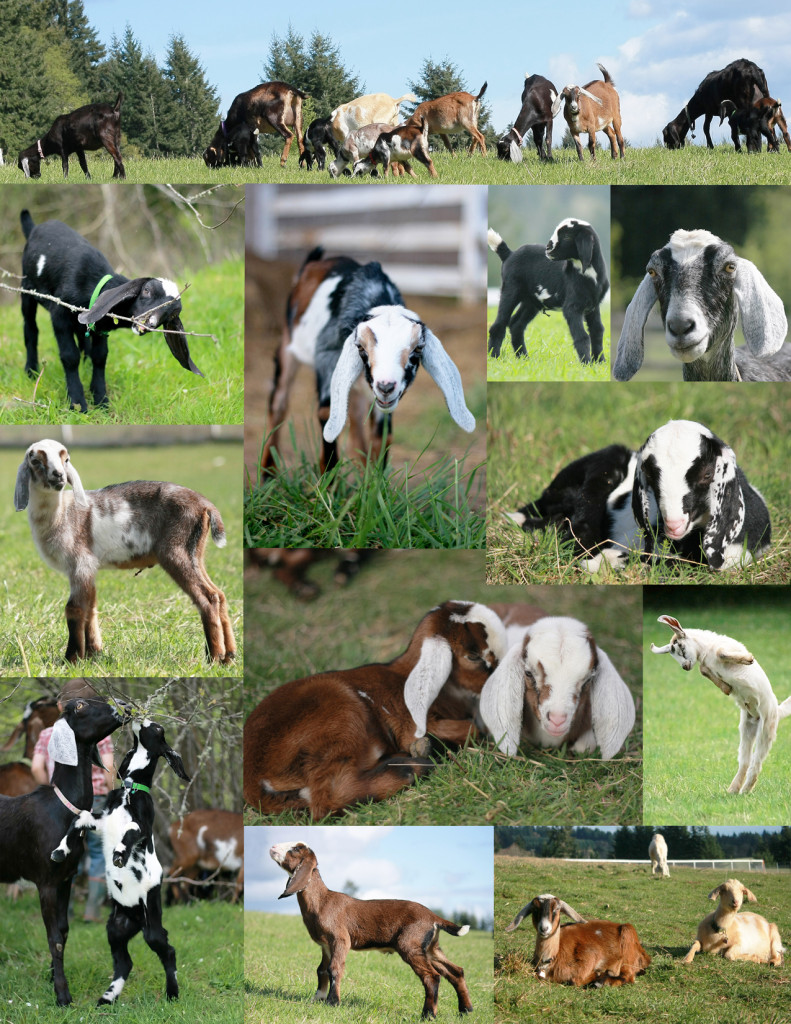 Goat Collage send